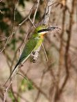 Title: Blue Tailed Bee-Eater