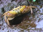 Title: Freshwater Crab