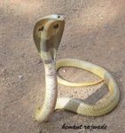 Title: Spectacled cobra