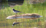 Title: Wagtail