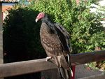 Title: South American Vulture