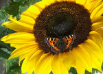 Title: Tortoiseshell Butterfly on a Sunflower