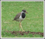 Title: Red-wattled Lapwing Juvenile
