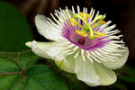 Title: Passion Flower