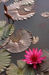Title: Water Lily_2