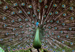 Title: Beautiful Peacock