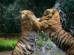 Title: Bengal Tigers