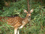 Title: spotted deer Cheetal