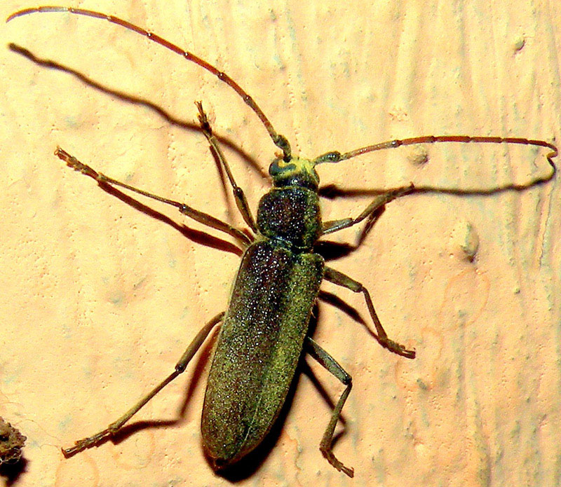 Blister beetle_  Be aware of me
