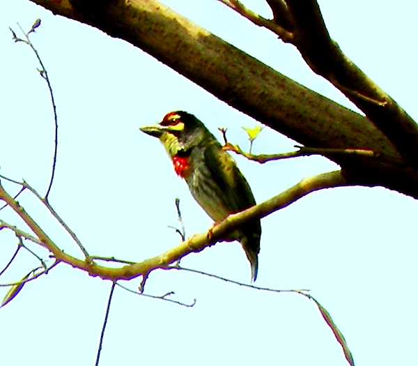 The Barbet