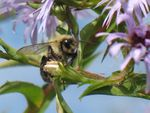 Title: American bumble bee