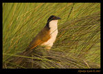 Title: Senegal Coucal