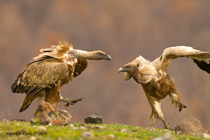 Dances with Griffons