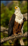 Title: African Fish Eagle