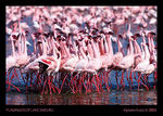 Title: FLAMINGOS OF LAKE NAKURU