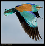 Title: European Roller of Istanbul Camera: Nikon D2X