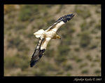 Title: Egyptian Vulture