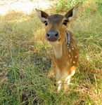 Title: Spotted Deer-1
