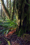 Title: Hoh Rain Forest