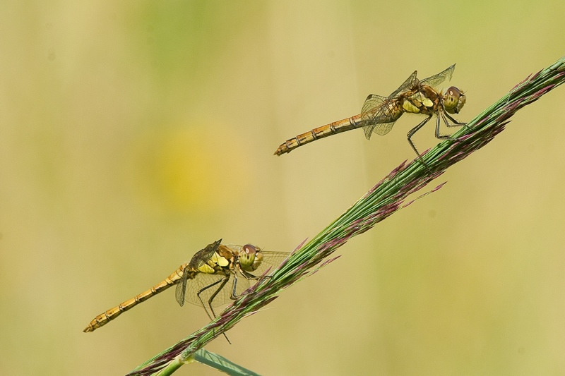 Sympetrum striolatum - Common Darter