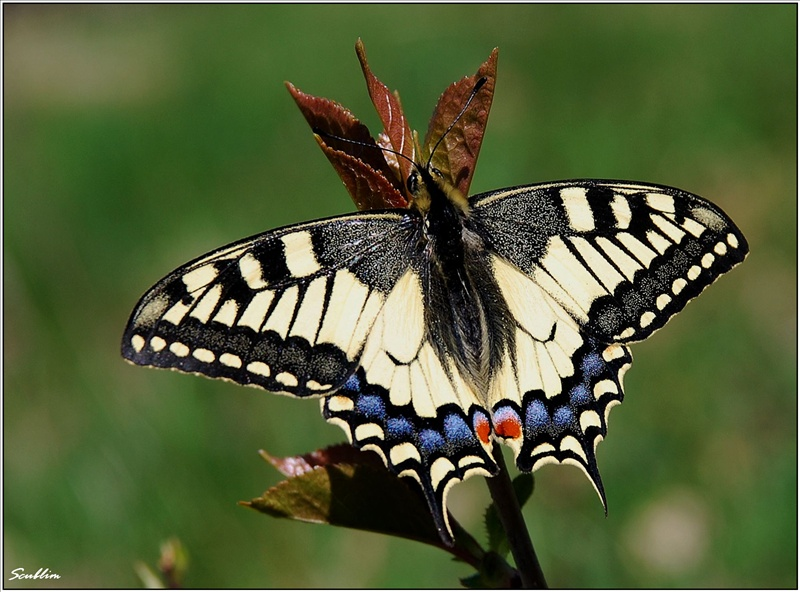 Papilio machaon of 2010...