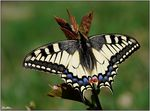 Title: Papilio machaon of 2010...Nikon D 60