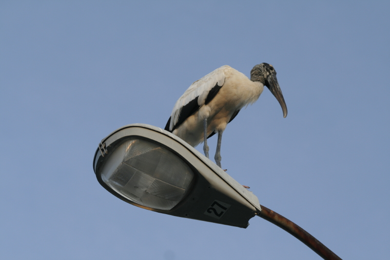 Wood stork in the city
