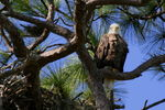 Title: Eagle by Nest