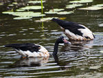 Title: Magpie Geese in Kakadu