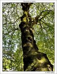 Title: Long-age sycamore
