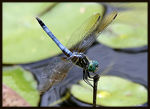 Title: Blue Dancer Dragonfly