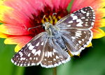Title: White Checkered Skipper