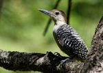 Title: Red-bellied Woodpecker