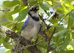 Title: Singing Blue Jay