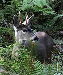 Title: Columbia Black-Tailed Deer