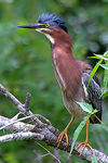 Title: Alerted Green Heron