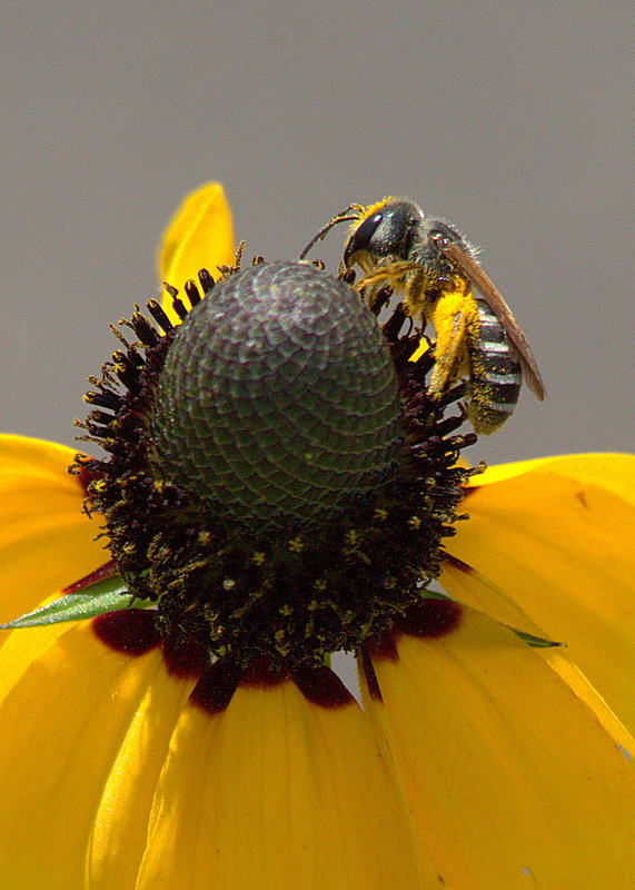 Another Bee On A Flower