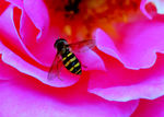 Title: Bee Going for the Nectar
