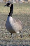 Title: Goose on the Ground