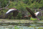 Title: Black-bellied Whistling Ducks in Flight