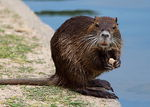 Title: Nutria at Lunch