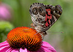 Title: American Painted Lady Butterfly