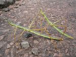 Title: Stick Insect (II)
