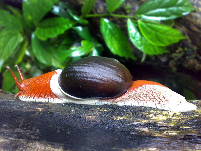 Indrella ampulla - A beautiful snail...