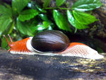 Title: Indrella ampulla - A beautiful snail...