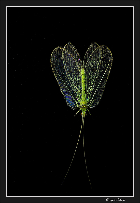The Transparent Flower - Green Lacewing