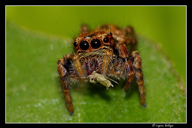 A Jumping Spider With Its Prey