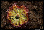 Title: Tropical Sundew - Drosera burmannii