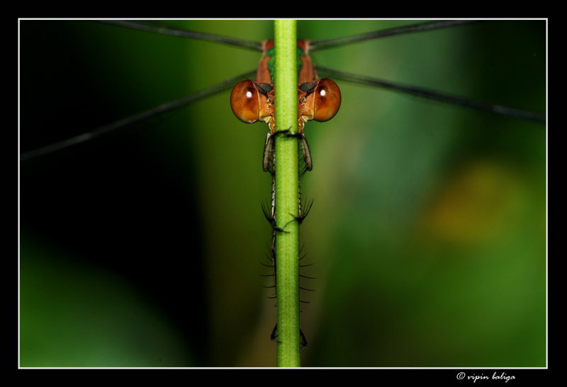 Emerald Spreadwing : Under Cover Agent