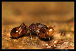 Title: Termite Mimic spider ? - ID please